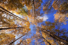 Autumn. In Xinjiang, China, has an enchanting place that autumn HORM 。Of itself, make the HORM under the blue sky and white clouds into Golden Ocean royalty free stock image