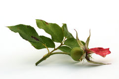 Into Autumn. A rose hip with just one last petal stock photos