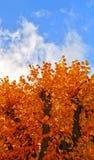 Autumn. Golden trees on background of blue sky Stock Photo