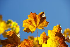 Autumn. Maple leaves in a sunny autumn day Royalty Free Stock Image