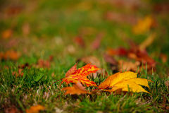 Autumn. And glowing colorful leaves Royalty Free Stock Photo