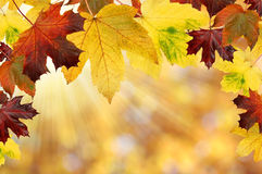 Autumn. Background with colored maple leaves Royalty Free Stock Photos