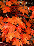 Autumn. Red autumn leaves royalty free stock photography