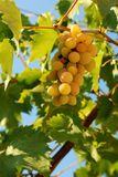 Autumn. Image of grapes in the autumn sun Royalty Free Stock Photo