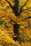Autumn. Tree with golden leaves Royalty Free Stock Images