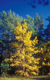 Autumn. Deciduous trees and pine trees in autumn Royalty Free Stock Photos
