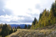 Autumn. Fir forrest in sinaia mountains, romania Stock Image