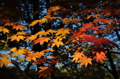 Autumn. Maple tree in autumn season taken from Secret Garden in South-Korea Stock Photos