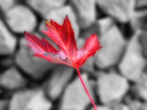 Autumn. A red Autumnal leaf against a black and white background. Gausian blur has been applied to the background to make the leaf stand out. Ideal image for Stock Images