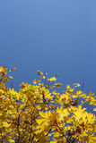 Autumn. High saturated beautiful yellow mapple leaves Royalty Free Stock Image