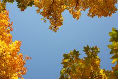 Autumn. High saturated beautiful yellow mapple leaves Royalty Free Stock Photos