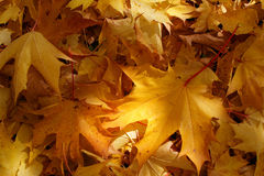 Autumn. High saturated beautiful yellow mapple leaves Stock Photo