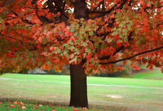 Autumn. Single colorful autumn tree in park royalty free stock photography