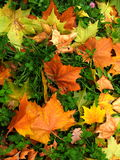 Autumn. Colorful autumn leaves in the forest Stock Photography