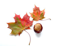 Autumn. Leaves and a chestnut on white background Royalty Free Stock Images
