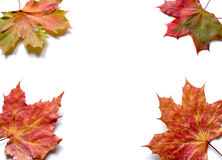 Autumn. Four autumn leaves on white background Stock Photography