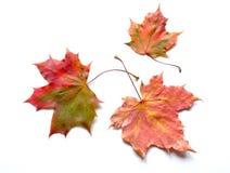 Autumn. Three autumn leaves on white background Royalty Free Stock Image