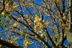 Autumn. Leaf and blue sky Royalty Free Stock Images