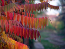 Autumn. Beautiful red leaves of autumn stock images