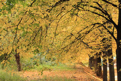 Autumn. In the park. Walnut tree alley Royalty Free Stock Images