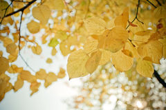 Autumn. A beautiful autumn morning. The yellow leaves looks so beautiful with the blue sky Royalty Free Stock Photos