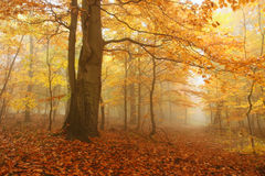 Autumn. Tree in fog with autumn colours Stock Photography