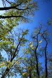 Autumn acacia in Ukraine Royalty Free Stock Image