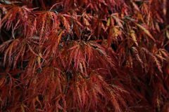Autumn Acer. Bright red leaves on a cold Autumn morning Stock Photography