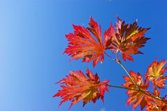 Autumn acer fall leaves blue sky. Red and orange acer leaves against a blue sunny sky. Photographed in an English park in September stock image
