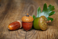Autumn acorn Stock Photos