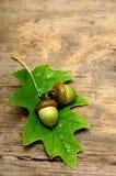 Autumn acorn Stock Images