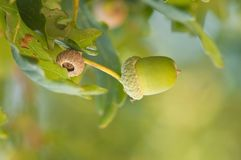 Autumn acorn in oak tree. Oak woodland in autumn with detail of an acorn mostly in green with soft lighting stock photography
