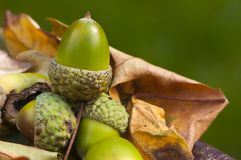 Autumn acorn sits on fall leaves Stock Photo
