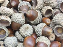 Autumn acorns Royalty Free Stock Photo