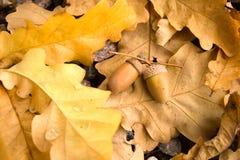 Autumn acorns. Two autumn acorns on oak leafes Royalty Free Stock Photo