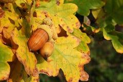 Autumn acorns Stock Photo