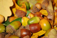 Autumn acorns Stock Photography