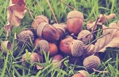 Autumn acorns on grass, vintage look. Acorns and oak leaves on grass, autumn Royalty Free Stock Photo