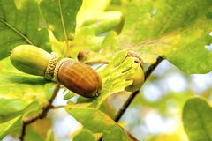 In autumn, acorns hang on a branch of an oak tree, close-up in natural conditions.  royalty free stock photos