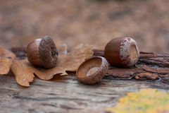 Autumn acorns Royalty Free Stock Photography