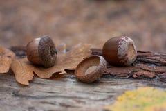 Autumn acorns Royalty Free Stock Photography