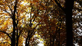 Autumn afternoon in the park.Trees with golden leaves in October wind.Lens flare and sound. stock video footage