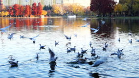 Autumn afternoon in the park.Trees with golden and red leaves, ducks, gulls stock video footage