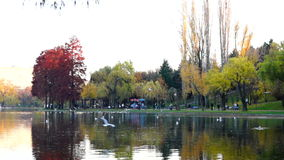 Autumn afternoon in the park.Trees with golden and red leaves, ducks, gulls stock footage