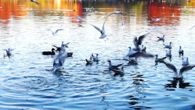 Autumn afternoon in the park.Trees with golden and red leaves, ducks, gulls stock video