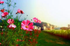 Autumn afternoon, sunset accompanied by red flowers bloom in life Royalty Free Stock Photography