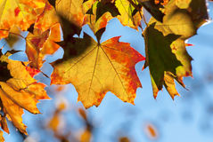 Autumn again. Great autumn colored leaves in nature stock image