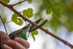 Autumn agricultural works, orchard maintenance, branching on fruit trees, agricultural scissors and small saw blades, cutting bra. Nches royalty free stock photos
