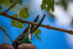 Autumn agricultural works, orchard maintenance, branching on fruit trees, agricultural scissors and small saw blades, cutting bra. Nches stock images