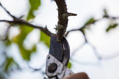 Autumn agricultural works, orchard maintenance, branching on fruit trees, agricultural scissors and small saw blades, cutting bra. Nches royalty free stock image
